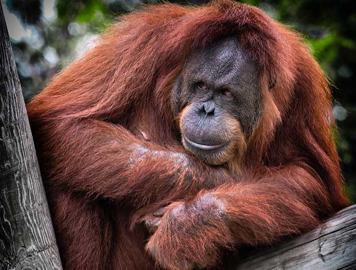 Orangutans of Malaysia.
