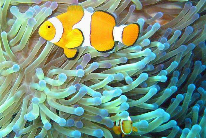 Clownfish on Great Barrier Reef, Australia.