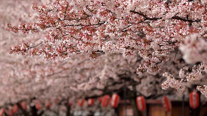 Sakura - Cherry Blossom, Japan.