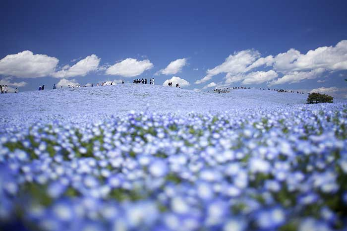 Hitachi Seaside Park.