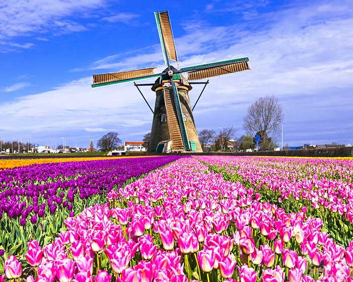 Tulip fields of the Netherlands.